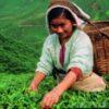 Čaj a jeho význam pro zdraví