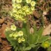 Prvosenka jarní (Primula veris L.)