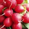 Ředkvičky – výtečná jarní zelenina v našem jídelníčku