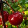 Říkanka – Třešně