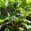 Jahodník obecný (Fragaria vesca L.)