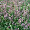 Sbíráme bylinky společně  s dětmi – Mateřídouška obecná